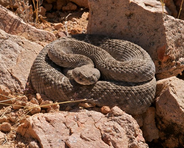 Sleeping Rattlesnake in Sonoran Desert.