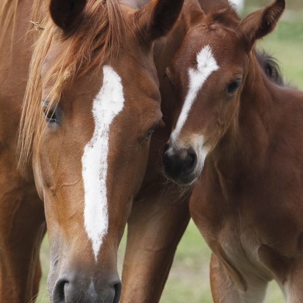 Close-up of a mare and her foal beeing in perfect harmony. Just look at the photo and you will see the similarity between them! Canon Eos 1D MarkIII.