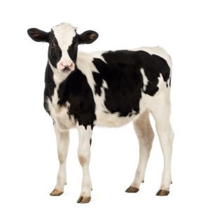 Calf, 8 months old, looking at the camera in front of white background