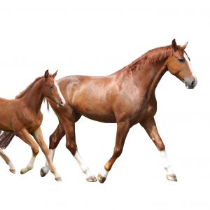Chestnut horse and its cute foal running fast isolated on white